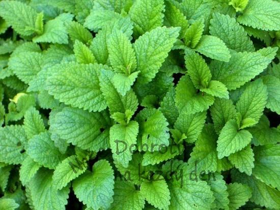 Zelené koření – čerstvé byliny v kuchyni 2. část