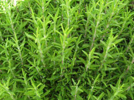 Zelené koření – čerstvé byliny v kuchyni 3. část